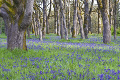Wildflowers azules de Camas que florecen en el prado entre los robles en la posición horizontal Fotografía de archivo libre de regalías
