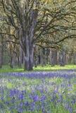 Wildflowers azules de Camas que florecen en el prado entre los robles en la posición vertical Fotografía de archivo