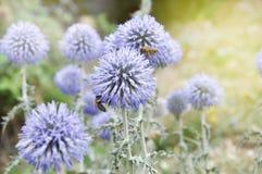 Wildflowers azules esféricos con las abejas Foto de archivo libre de regalías