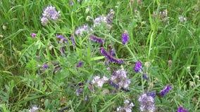Wildflowers błękitni i czerwoni na zielonym żyta polu zbiory wideo