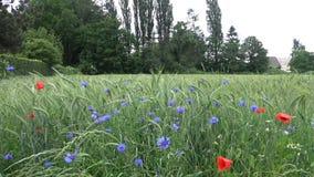 Wildflowers błękitni i czerwoni na zielonym żyta polu zbiory