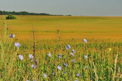 Wildflowers on a background of a corn field Royalty Free Stock Images