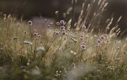 Wildflowers on the background of setting sun Royalty Free Stock Photos