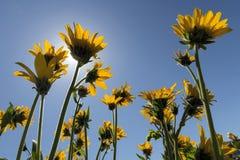 Wildflowers Balsamroot под Солнцем Стоковые Фотографии RF