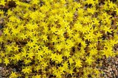 Wildflowers basso a crescita gialli della sassifraga Fotografia Stock