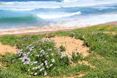 Wildflowers at beach Royalty Free Stock Image