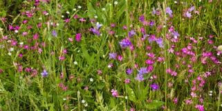 wildflowers bellflowers Royalty Free Stock Image