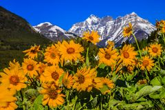 Wildflowers below the southern Rockies. Balsam root in Waterton Lakes National Park, Alberta, Canada Stock Images