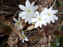 wildflowers bianchi Fotografia Stock Libera da Diritti