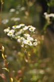 wildflowers bianchi Immagini Stock