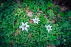 Wildflowers bianchi delicati in un prato di Filadelfia Immagini Stock
