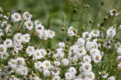 Wildflowers bianchi dello snakeroot immagine stock