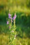 Wildflowers blanchis rétro-éclairés de Vervain Photo stock