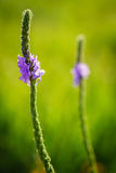 Wildflowers blanchis rétro-éclairés de Vervain Images stock