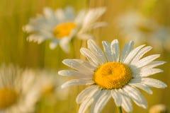 Wildflowers blancos Fotografía de archivo