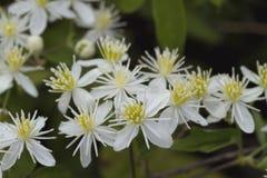 Wildflowers blancos 11 del ligusticifolia de la clemátide de Alabama Fotografía de archivo