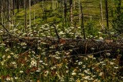 Wildflowers blancos en apagado bosque Fotos de archivo