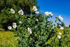 Wildflowers blancos hermosos de la amapola espinosa (albiflora del Argemone) i Imagen de archivo libre de regalías