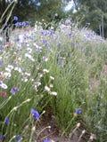 Wildflowers blancos y hierbas nativas Foto de archivo libre de regalías