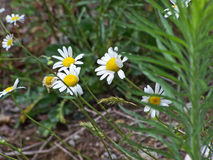 Wildflowers blancs Image stock
