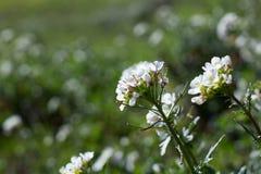 Wildflowers blancs Image libre de droits