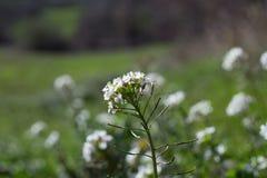 Wildflowers blancs Photos libres de droits