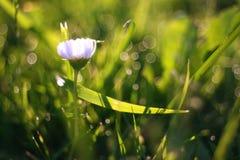 Wildflowers blancs de camomille sur le fond vert Photo libre de droits