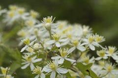 Wildflowers blancs 10 de ligusticifolia de clématite de l'Alabama Images libres de droits