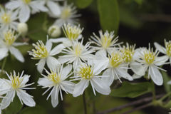 Wildflowers blancs 11 de ligusticifolia de clématite de l'Alabama Photographie stock