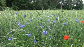 Wildflowers blauw en rood op een groen roggegebied stock video