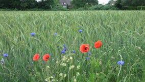 Wildflowers blauw en rood op een groen roggegebied stock footage