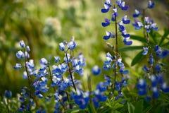 Wildflowers: Blauwe Lupine stock foto's