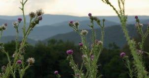 Wildflowers in blauwe randbergen bij nevelige zonsondergang stock videobeelden