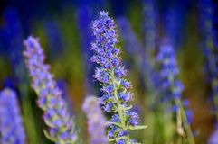 Wildflowers bleus Photo libre de droits