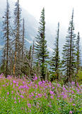 Wildflowers in bloom against a snowy mountain. Royalty Free Stock Images