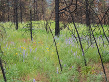 Wildflowers bloom after a forest is burned Royalty Free Stock Photos