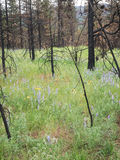 Wildflowers bloom after a forest is burned Royalty Free Stock Photography