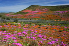 Wildflowers in bloom, Namaqualand, South Africa. Royalty Free Stock Photo