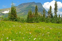 A field of wildflowers grow beneath frozen glaciers in Glacier National Park. Royalty Free Stock Photography