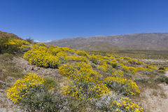 Wildflowers blooming in Anza-Borrego Desert State Park - Califor Stock Image