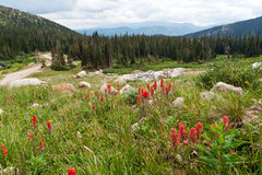 Wildflowers Blooming in the Colorado Mountains Stock Photo