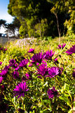 Wildflowers blooming in the country road. Purple Wildflowers blooming  in the country road Royalty Free Stock Photo