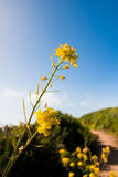 Wildflowers blooming in the country road. Yellow Wildflowers blooming  in the country road Stock Images