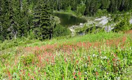 Wildflowers blooming near Mazama Lake Stock Images