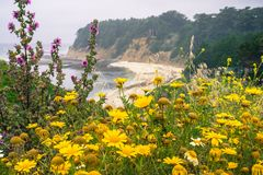 Wildflowers blooming on the Pacific Ocean coastline. Sandy beach in the background, Moss Beach, San Francisco bay area, California Royalty Free Stock Image
