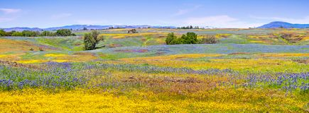 Wildflowers blooming on the rocky soil of North Table Mountain Ecological Reserve, Oroville, Butte County, California stock images
