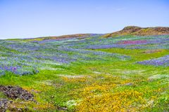 Wildflowers blooming on the rocky soil of North Table Mountain Ecological Reserve, Oroville, Butte County, California royalty free stock images