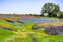 Wildflowers blooming on the rocky soil of North Table Mountain Ecological Reserve, Oroville, Butte County, California royalty free stock photo