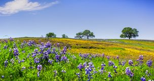 Wildflowers blooming on the rocky soil of North Table Mountain Ecological Reserve, Oroville, Butte County, California stock photography