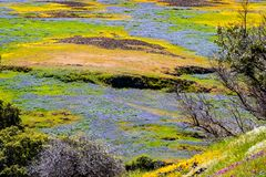Wildflowers blooming on the rocky soil of North Table Mountain Ecological Reserve, Oroville, Butte County, California stock image